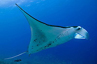 reef manta ray, Manta alfredi, being cleaned by saddle wrasse, Thalassoma duperrey, an endemic fish to Hawaii , Keahole Point, Kona, Big Island, Hawaii, USA, Pacific Ocean
