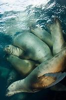 Steller Sea Lion, Eumetopias jubatus, aka northern sea lion, Race Rocks, British Columbia, North Pacific Ocean