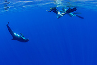videographer Rob Torelli films son Jake's encounter with a pygmy killer whale or slender blackfish, Feresa attenuata, in blue water off Kona, Hawaii (Central Pacific Ocean)