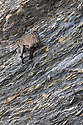 Alpine Ibex {Capra ibex ibex} on sheer cliff face on mountainside. French Alps, France.