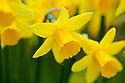 Daffodil (Narcissus 'Jumblie'), mid March.