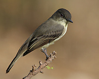 """Perhaps the most familiar flycatcher in eastern North America, the Eastern Phoebe nests near people on buildings and bridges. It can be recognized by its emphatic """"phee-bee"""" call and its habit of constantly wagging it tail."""