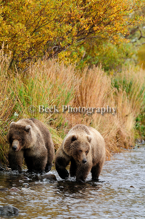 Two grizzly bears, Ursus arctos horribilis, looking  for salmon along the banks of the Alaskan river.