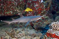 Whitetip reef shark, Triaenodon obesus. Maui, Hawaii, USA, Pacific Ocean