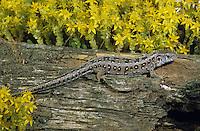 Zauneidechse, Zaun-Eidechse, Weibchen zwischen Mauerpfeffer, Lacerta agilis, sand lizard