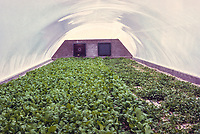 Abu Dhabi, UAE.  Hydroponic Agriculture under way in 1972 to Supply Local Food Needs. Photographed March 1972.