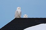 A pair of snowy owls on a roof top in western Montana during winter