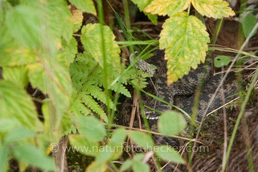 Kreuzotter, in der Vegetation versteckt, getarnt, Tarnung, Kreuz-Otter, Otter, Vipera berus, adder, common viper, common European viper