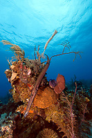 Trumpetfish, aulostomus maculatus, can grow to 100cm/3.3ft, and can vary in colours and patterns.
