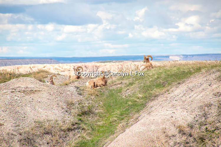 Big Horn Sheep lay on a hill in the Badlands.