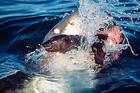great white shark, Carcharodon carcharias, attacking Cape fur seal, or South African fur seal pup, Arctocephalus pusillus pusillus, False Bay, South Africa