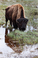 Bison (bison bison) are prevalent in Yellowstone. They have been known as buffalo in the American cultural lore, but they are not really a buffalo. Caped buffalo and water buffalo both look substantially different. They lack the large head and neck hump as well as the horn placement and size.