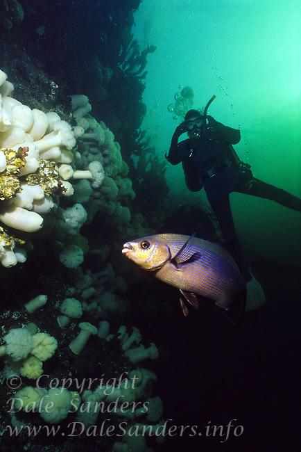 Striped Seaperch ( Embiotoca lateralisis) and Scuba Diver underwater in Porlier Pass, in the Gulf Islands of British Columbia, Canada.