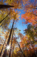 Autumn canopy and sunstar along the Middle Prong Trail, Tremont