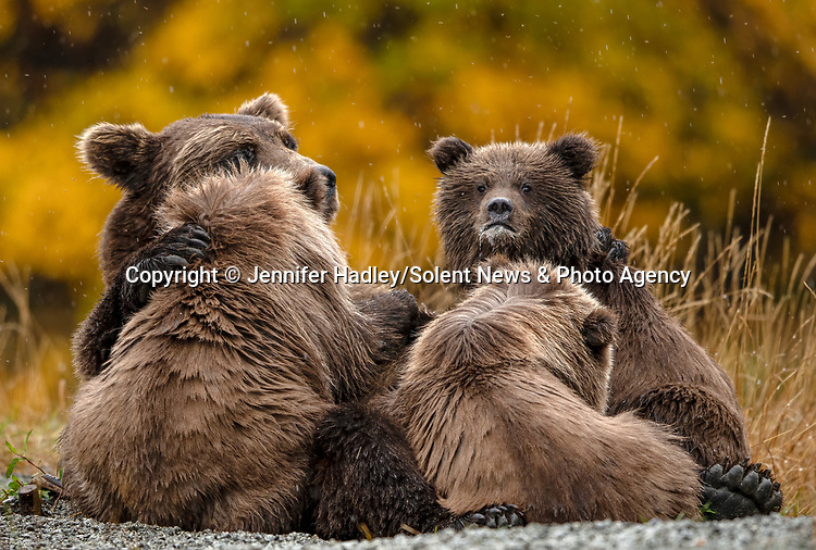 A family of grizzly bears look to the heavens as it begins to rain.  The mother and her three young cubs appear to look solemnly at the sky in anticipation of the downpour which set in for the rest of the day.<br /> <br /> Photos also show the protective mother fishing in a lake to feed the family and warning off larger bears when they entered her families' vicinity.  Wildlife photographer Jennifer Hadley captured pictures of the group at Crescent Lake, on the southern coast of Alaska.  SEE OUR COPY FOR DETAILS.<br /> <br /> Please byline: Jennifer Hadley/Solent News<br /> <br /> © Jennifer Hadley/Solent News & Photo Agency<br /> UK +44 (0) 2380 458800