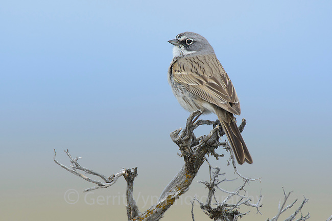Sage Sparrow (Amphispiza belli) is a sage obligate species of teh American west. Sublette County, Wyoming. May.