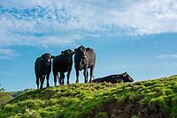 Beef cattle, Whitewell, Clitheroe, Lancashire. UK