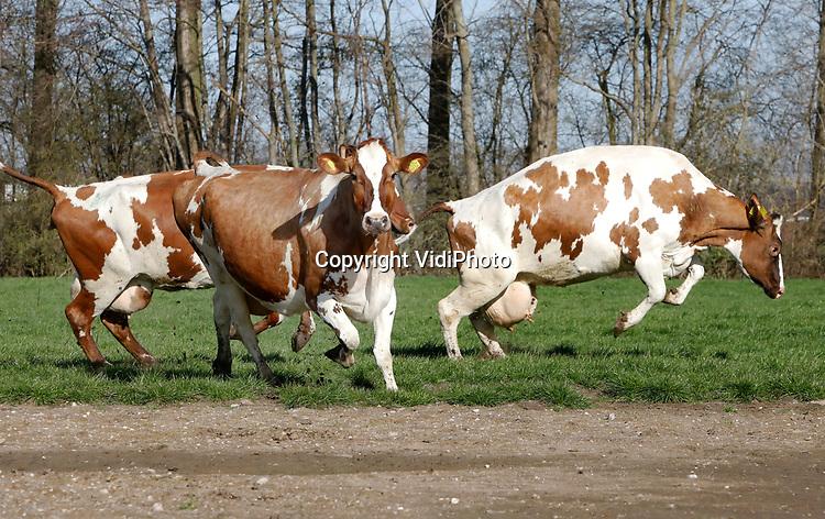 """Foto: VidiPhoto<br /> <br /> SLIJK-EWIJK – Uitgelaten stormen 59 roodbonte koeien en een stier na vijf maanden stal, maandagmorgen de frisse wei in. De koeien van melkveehouder Dick van Buuren uit het Betuwse Slijk-Ewijk zijn er ook aan toe, vertelt hij. """"Ze zijn wat stijf de laatste tijd en hebben moeite met opstaan."""" Tot november krijgen ze beweging genoeg en blijven ze vrijwel 24 uur buiten. Direct als ze buiten zijn bepalen de koeien met een krachtmeting de onderlinge pikorde. Van Buuren krijgt 2 cent per liter melk extra als hij zijn koeien 720 uur per jaar buiten laat lopen en nog eens een cent extra als hij geen genetisch gemodificeerd voedsel gebruikt. Een groot deel van de kaas, die van de melk van de Slijk-Ewijkse veehouder gemaakt wordt, gaat naar Duitsland. Zowel weidegang als voeren worden bij de Betuwse boer regelmatig gecontroleerd. De koeien van Van Buuren leveren ieder jaar gemiddeld 475.000 liter melk."""