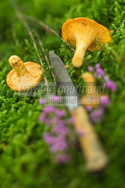 France, Midi-Pyrénées, Lot (46), Saint-Perdoux: Girolles et bruyère dans la forêt    // France, Midi Pyrenees, Lot), Saint Perdoux: Golden chanterelles and heather in the forest
