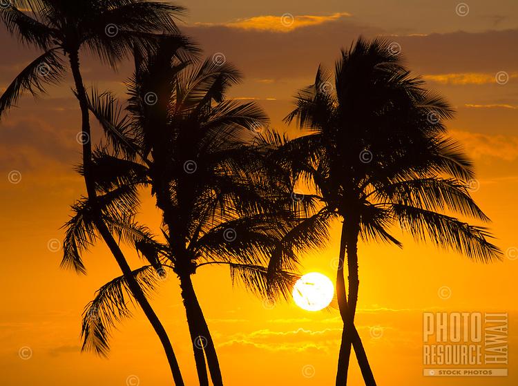 Palm trees are silhouetted against a brilliant orange sunset, Waikoloa, Big Island.