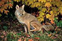 COYOTE scent marking..Minnesota. Autumn..Maple leaves. (Canis latrans).