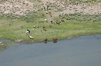 Horses drinking along Rio Grande River, Taos County, New Mexico, Colorado. June 2014. 85503