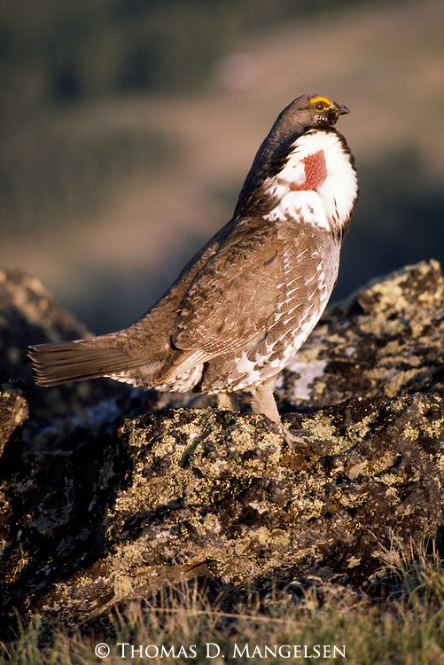 Portrait of male blue grouse displaying