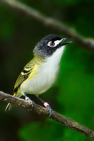 590500001v a highly endangered banded black-capped vireo vireo atricapilla sings or vocalizes while perched on a tree branch at balcones canyonlands national wildlife refuge in travis county texas