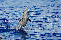 Pantropical Spotted Dolphin, Stenella attenuata, jumping out of boat wake, off Kona, Big Island, Hawaii, Pacific Ocean.