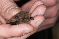 Zwergfledermaus in Hand wird untersucht, Zwerg-Fledermaus, Pipistrellus pipistrellus, Common pipistrelle, Pipistrelle commune
