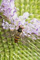 Hain-Schwebfliege, Weibchen, Gemeine Winterschwebfliege, Winter-Schwebfliege, Hainschwebfliege, Wanderschwebfliege, Wander-Schwebfliege, Schwebfliege, Parkschwebfliege, Episyrphus balteatus, Episyrphus balteata, Syrphus balteatus, marmalade hoverfly, female, Le Syrphe ceinturé, Syrphe à ceinture, Syrphe à ceintures, Blütenbesuch an Wilde Karde