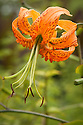 Lilium henryi, mid August. Sometimes called Tiger Lily or Henry's lily, a native of the mountains of central China. The flowers are orange, spotted black, and unscented.