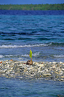 Coconut palm, Cocos nucifera, Pohnpei, Micronesia, Pacific Ocean