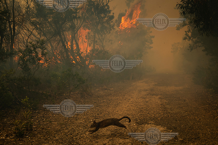 A possum runs across a pathway as it seeks safety from a major fire that burnt much of Sydney's North Head. The fire spread after a NSW National Parks hazard reduction burn jumped containment lines and quickly got out of control forcing the evacuation of nearby residents and the destruction of 90 hectares of bushland. Increasingly, as science continues to inform us that climate change is having an enormous impact on the frequency and intensity of weather related events, the windows for optimal hazard reduction burn conditions are becoming smaller.
