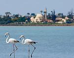 CYPRUS, Larnaca: flamingos at salt lake, background Hala Sultan Tekkesi mosque  | ZYPERN, Larnaka: Hala Sultan Tekkesi Moschee am Salzsee