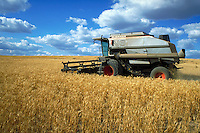 Tractor harvesting golden wheat in field. Agribusiness. Washington State.