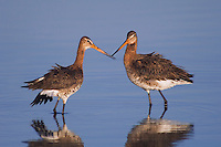 Black-tailed Godwit, Limosa limosa, adult pair in breeding plumage,National Park Lake Neusiedl, Burgenland, Austria, Europe