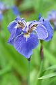 Beachhead iris (Iris setosa), mid May.