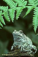 FR10-026t  Gray Tree Frog - Hyla versicolor