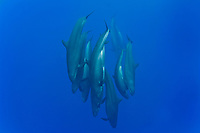 False killer whales (pseudorca crassidens) A typically tight group of false killer whales. Azores.