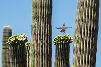 Cactus Wren, Campylorhynchus brunneicapillus, flies from a Saguaro cactus, Carnegiea gigantea, in Saguaro National Park, Arizona