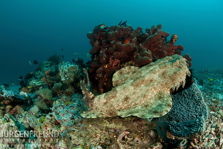 Tasselled wobbegong (Eucrossorhinus dasypogon). North Raja Ampat, West Papua, Indonesia