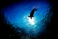 A honu (or green sea turtle) swims over a snorkeler's head, silhouetted by the sun over Hawaiian waters.