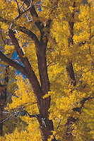 Brilliant Lamar Valley Cottonwoods on a warm and clear fall day. Yellowstone National Park, Wyoming.