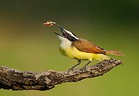 Birds: songbirds G-M (common names)