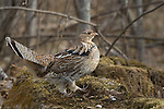 Ruffed grouse standing on his drumming log