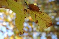 Bosco di castagne in autunno. Chestnut woods in Autumn...