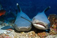 whitetip reef sharks, Triaenodon obesus, resting on ocean floor, cocos island, costa rica, pacific ocean