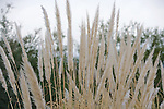 Pampas Grass - Cortaderia selloana