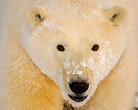 polar bear, Ursus maritimus, close up of a cub along the Arctic coast, 1002 coastal plain of the Arctic National Wildlife Refuge, Alaska, polar bear, Ursus maritimus